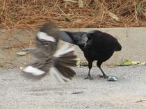 crow and mockingbird