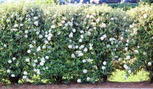 spring bushes in bloom