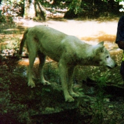 wolf 14