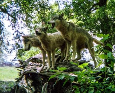 wolf 16