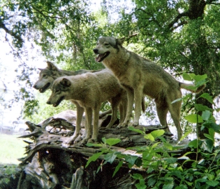 wolf 18