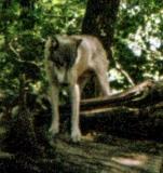 wolf 19