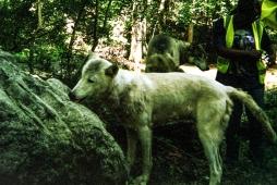 wolf 20