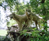 wolf 21