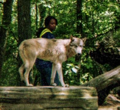 wolf 22