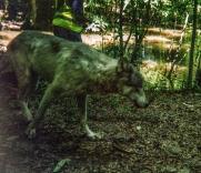 wolf 23