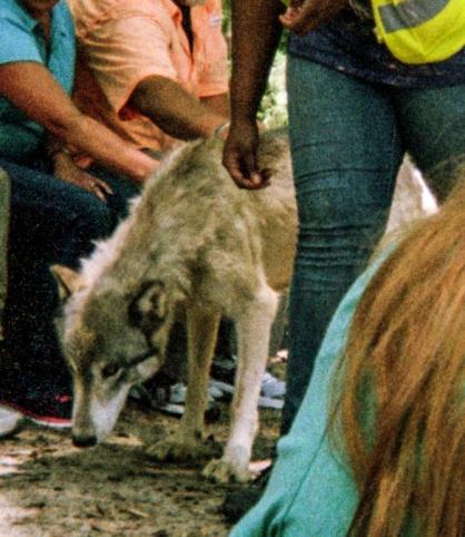 wolf 24