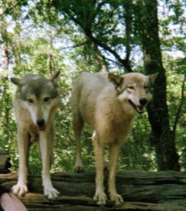 wolf 27