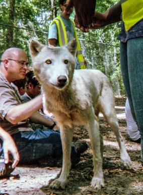 wolf 28