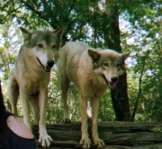 wolf 30