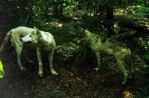 wolf 31