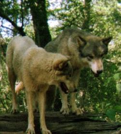 wolf 32