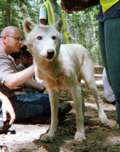 wolf 33