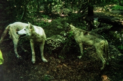 wolf 34
