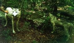 wolf 35
