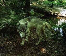 wolf 37