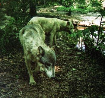 wolf 38