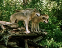 wolf 39
