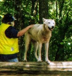 wolf 4
