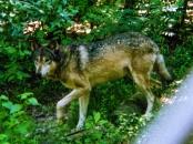 wolf 40