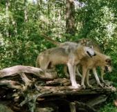 wolf 42