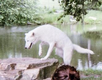 wolf 43