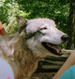 wolf 44