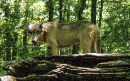 wolf 45