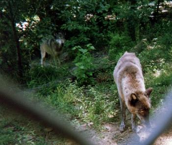 wolf 46