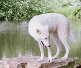 wolf 47