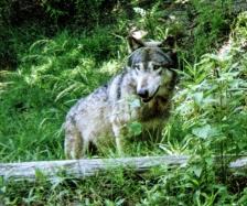wolf 48