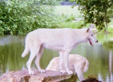 wolf 50