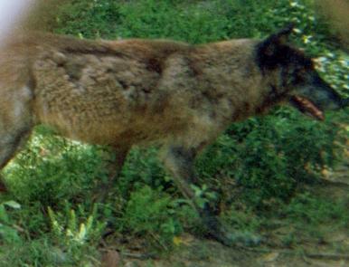 wolf 51