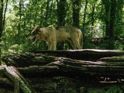 wolf 52