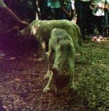 wolf 54