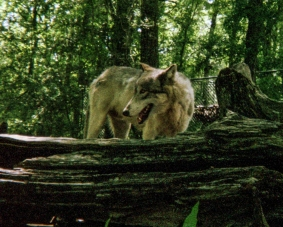wolf 55