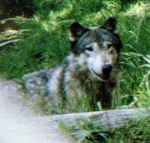 wolf 57