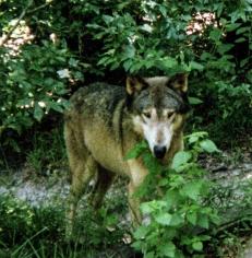 wolf 58