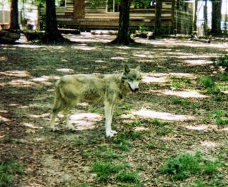 wolf 59