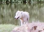 wolf 60