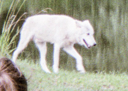 wolf 61