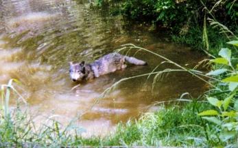 wolf 62