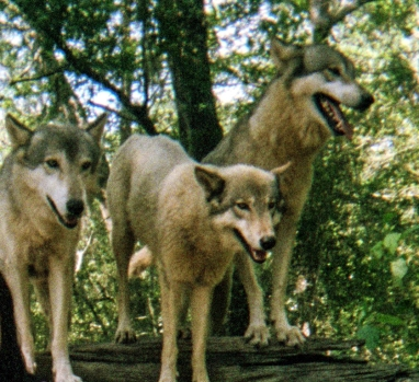 wolf 63