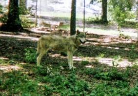 wolf 64