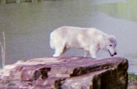 wolf 65