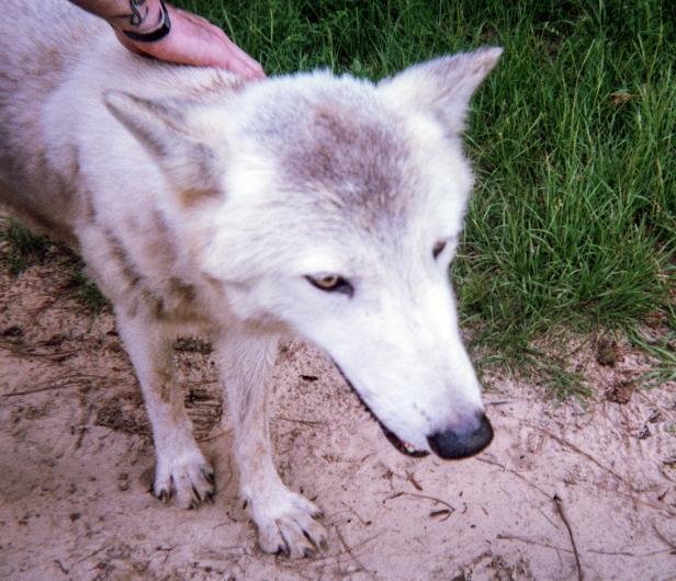 wolf 66