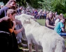 wolf 67