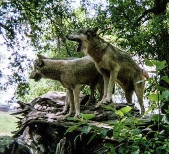 wolf 8